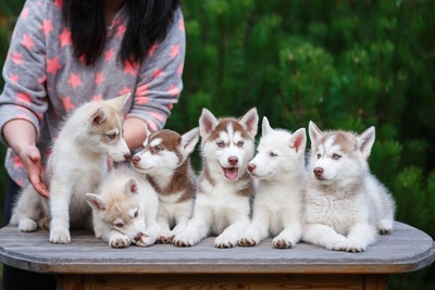 ブリーダーとハスキーの子犬たち