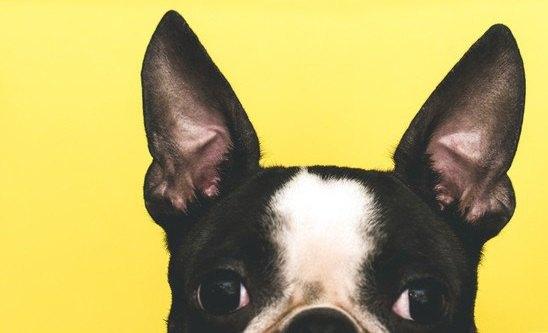 フレンチブルの耳
