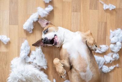 綿が散らばる犬