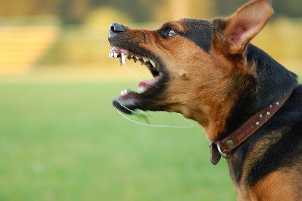 吠える大型犬の横顔