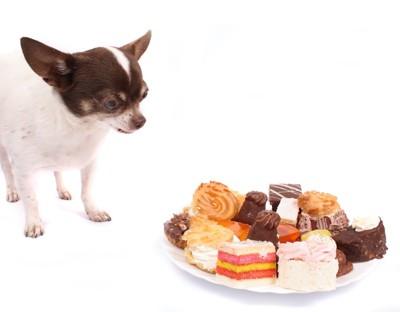 お皿に載ったお菓子を見つめるチワワ