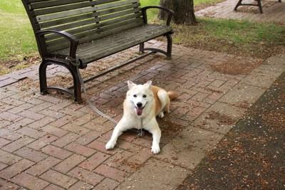 ベンチに繋がれて伏せて飼い主を待っている犬