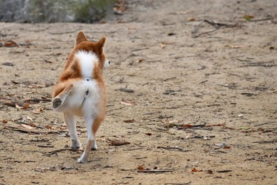 後ろ足をあげる柴犬