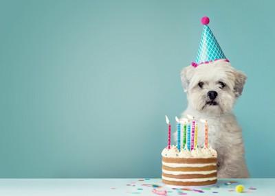 バースデーケーキと犬、青っぽい背景