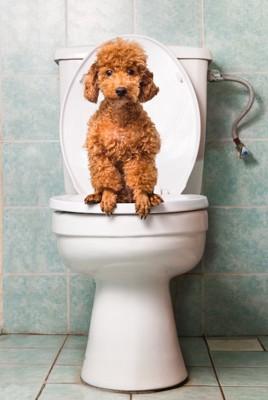 人用のトイレに座るトイプードル