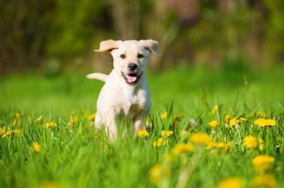 走って来る犬、黄色い花