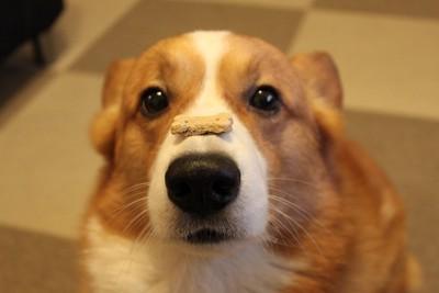 鼻の頭にお菓子が乗っているコーギー