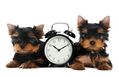 目覚まし時計と2匹のヨークシャーテリア