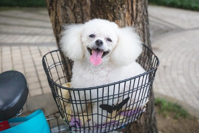 自転車のかごに乗る犬