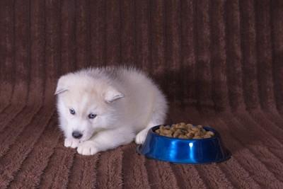 ご飯の横で伏せている子犬