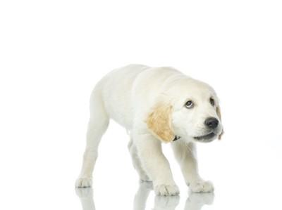 おびえて姿勢を低くする子犬