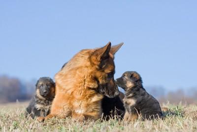 子犬を見つめる母犬