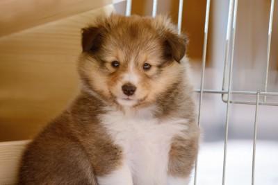 ケージの中のコリーの子犬