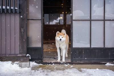 雪景色の中で古民家の玄関に立つ秋田犬