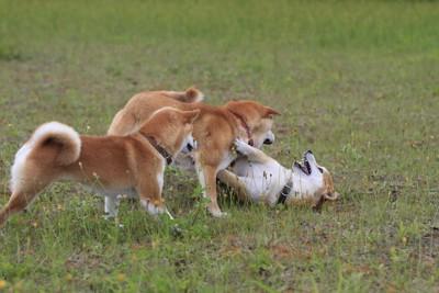 じゃれて遊ぶ三頭の柴犬