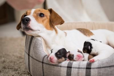 犬用ベッドの中の母犬と子犬たち
