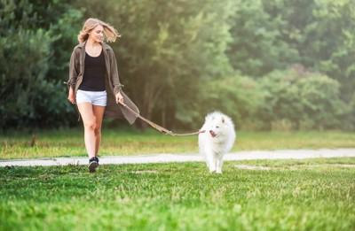 散歩する女性とサモエド犬