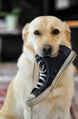 靴を咥える犬