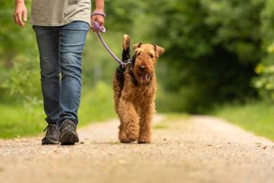 男性と散歩するエアデールテリア