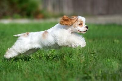 アメコカの子犬