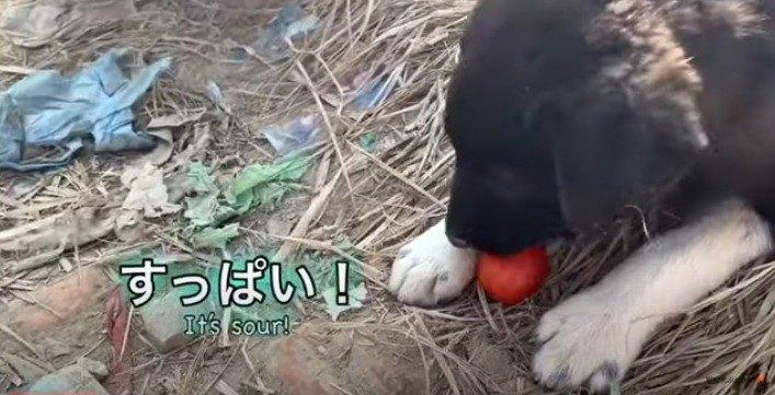トマトをかじるホープ