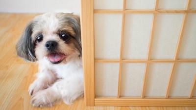 障子から見つめる犬