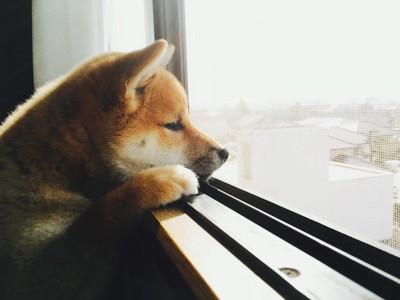 立ち上がって窓から外を見つめる柴犬