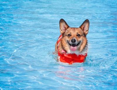 ライフジャケットを着てプールに入っているコーギー