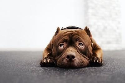 伏せて怯えた様子で上目遣いをする犬