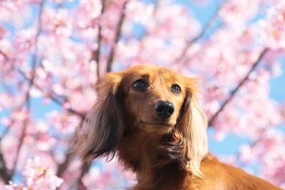 ダックスフンドと梅の花