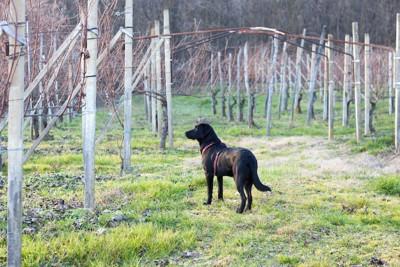 ワインヤードに立つ犬