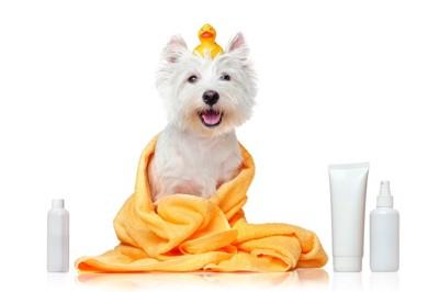タオルに包まれた犬とシャンプー