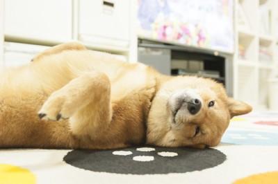 お腹を見せる柴犬