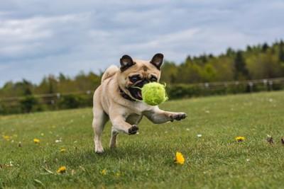 ボールを追いかけるパグ