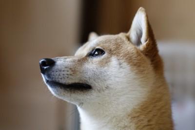 見つめている柴犬の顔のアップ