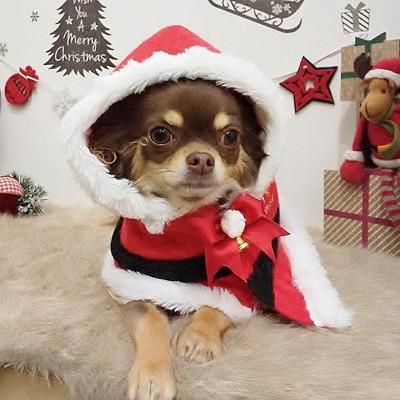 サンタクロースの服を着たチワワ