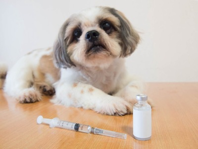 薬と注射器のそばに伏せる犬