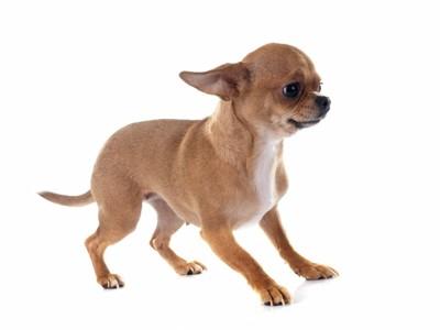 後ずさりしている小型犬