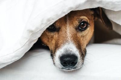 布団に潜って顔を出す犬