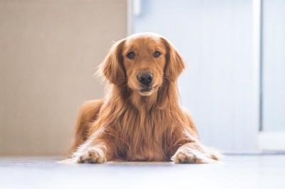 フローリングの上で伏せをする犬