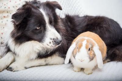 垂れ耳のウサギを見つめる犬