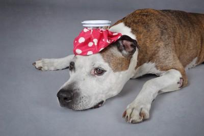 頭に氷嚢を乗せる犬