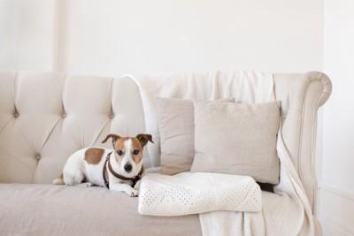 白いソファーに座る犬