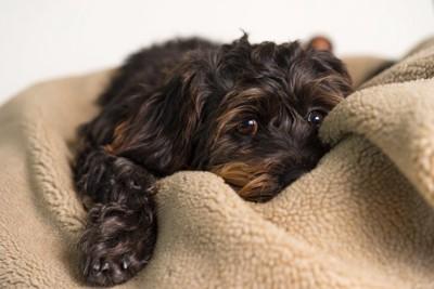 シーズーミックス犬