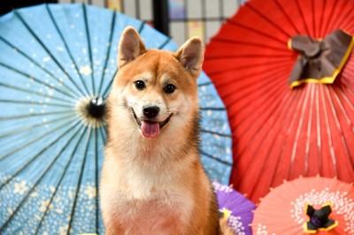 和傘と柴犬