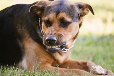 手にガムを持って取られないように唸る犬