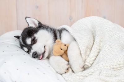 お布団で眠るハスキーの子犬