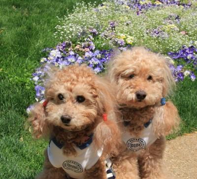 花畑の前に座る犬2匹