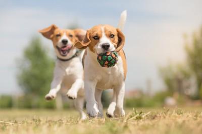 ボールで遊ぶ2匹のビーグル犬