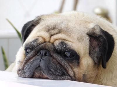 憂鬱なパグ